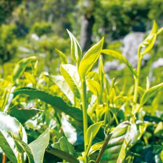 新茶の季節到来!「旬活」で彩る暮らし